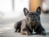 Tödliche Optik: Vorsicht vor Hunden aus Qualzucht